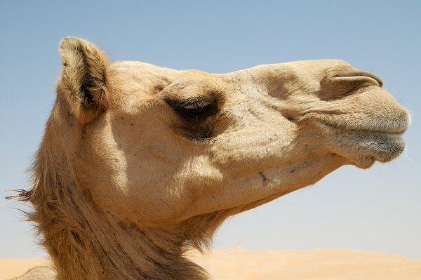 Unter Kamelen