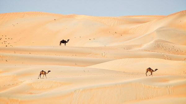 Kamele in der Liwa-Wüste
