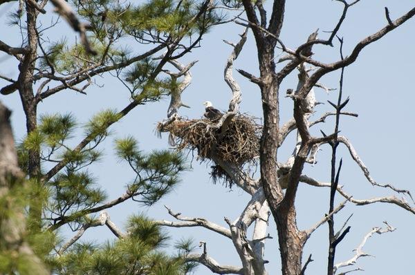 Brütender Weißkopfseeadler