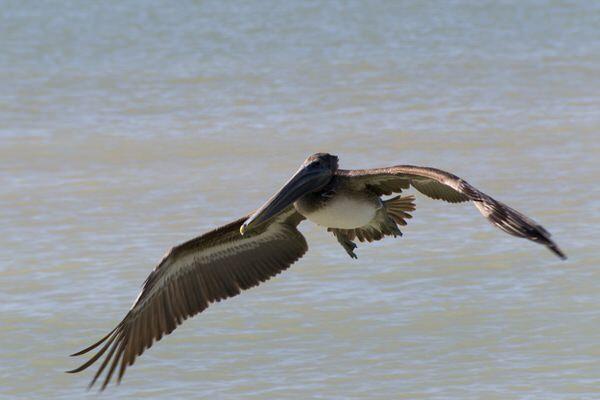 Fischende Pelikane