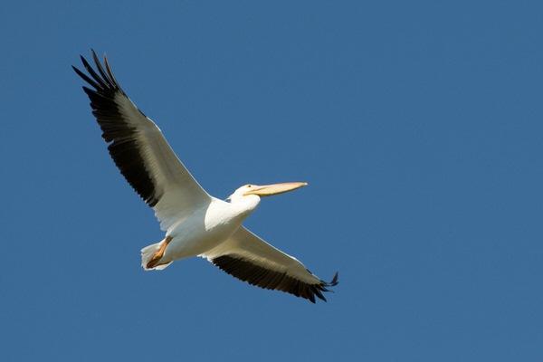 Weißer Pelikan